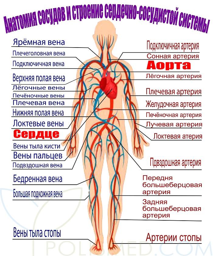 Kraujagyslių susiaurėjimas ir išsiplėtimas