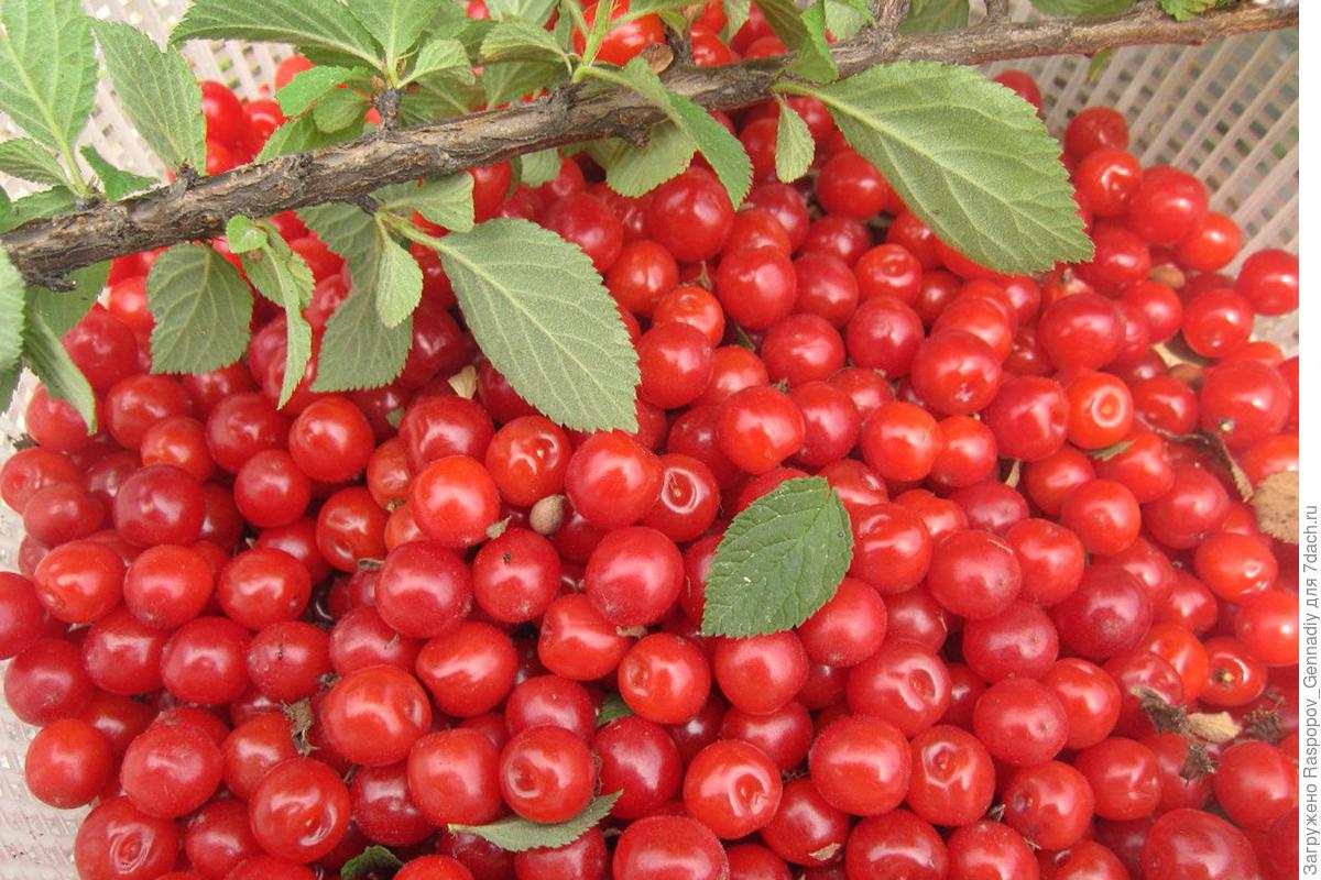yra vyšnios, vartojančios hipertenziją liaudies vaistų nuo smegenų hipertenzijos