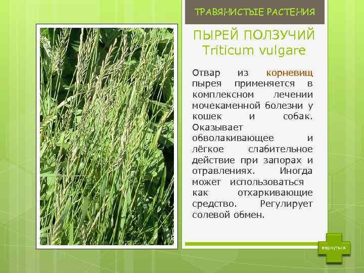 Sveikatos receptai iš pievos - Temos - Ligos, sveikata, vaistai - eagles.lt