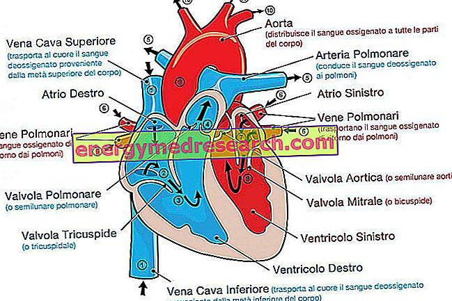 sveikatos širdies alimentai