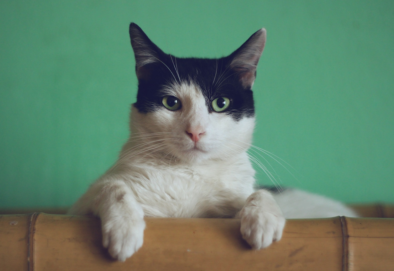 katė gydoma hipertenzija