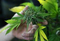 marihuanos poveikis širdžiai