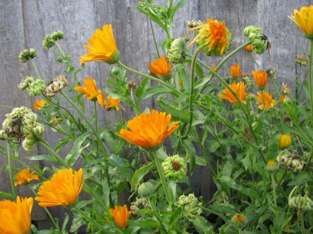vaistiniai augalai, vartojami hipertenzijai gydyti