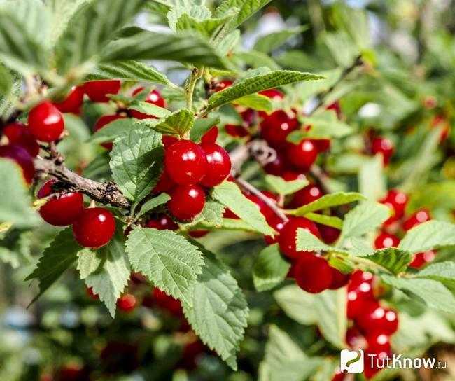 yra vyšnios, vartojančios hipertenziją)