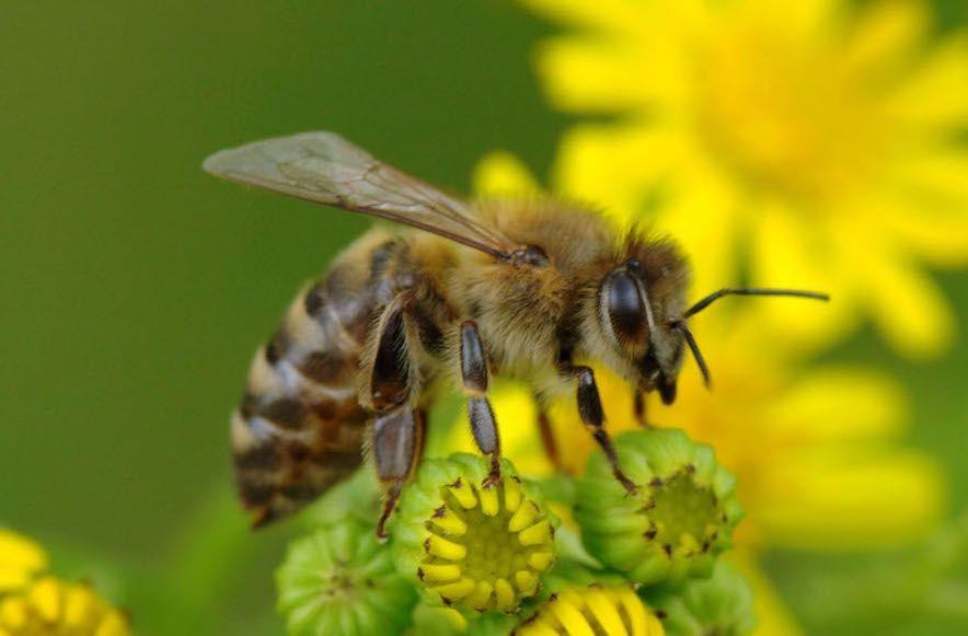 Bičių duonelė: 5 faktai, apie kuriuos neteko girdėti