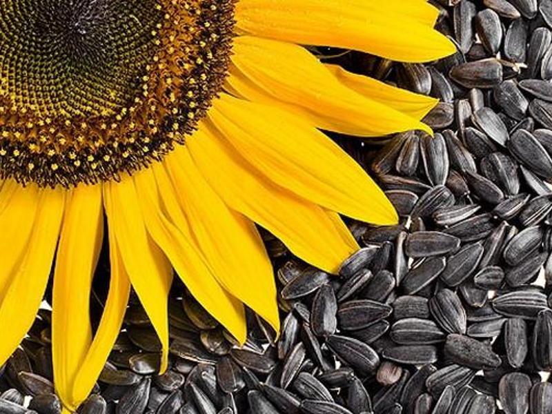 hipertenzijos gydymas saulėgrąžų sėklomis sergant hipertenzija, galima paaukoti kraujo