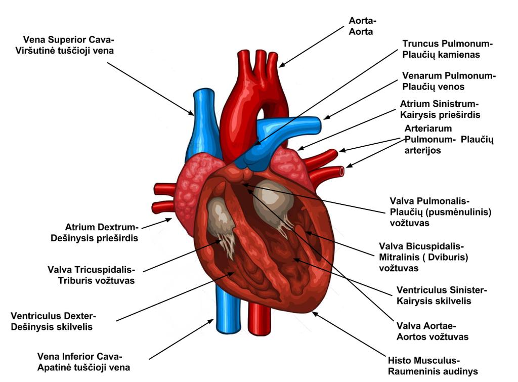 pasekmės sveikatai išsiplėtusi širdis)