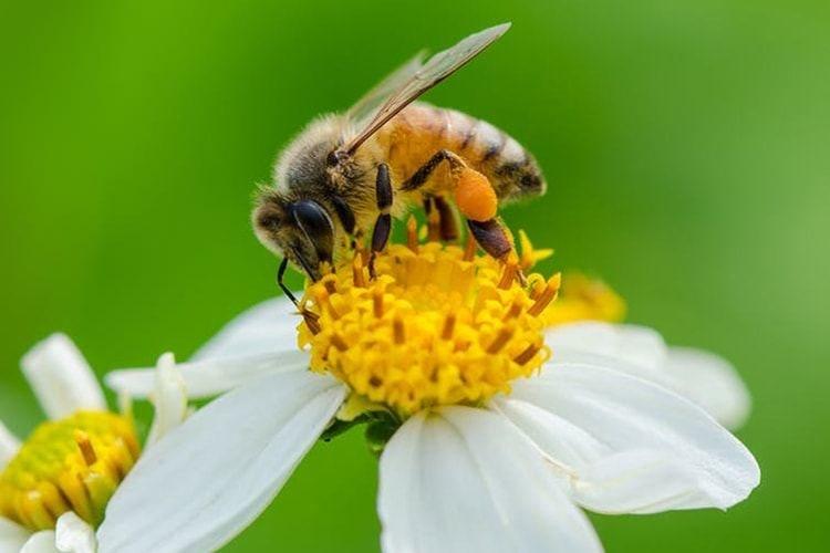 bičių duona ir hipertenzija)