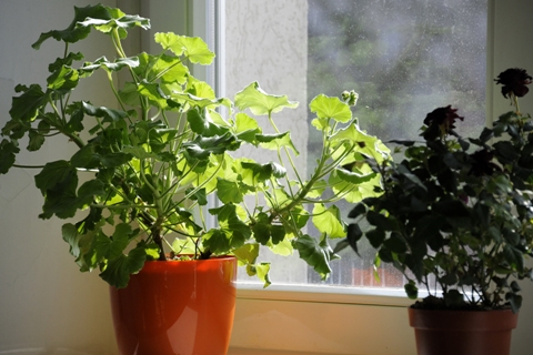 kokie augalai gydo hipertenziją)