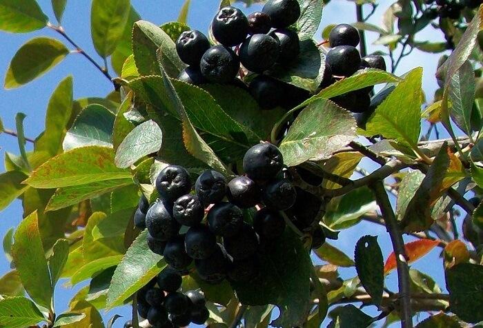 Juodvaisių aronijų vaisiai (lot. Aronia melanocarpa, angl. Black chokeberry)